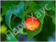 Хвойные,  лиственные,  плодовые деревья,  кустарники,  цветы,  рассада - foto 6