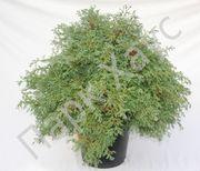 Газонные травы,  цветы,  деревья,  кустарники,  рассада - foto 3